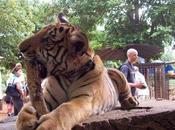 Memorie veterinario: Tiger Temple Kanchanaburi