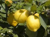 sapevi che..? L'oro giallo Siracusa limone, ecco stupefacenti proprietà