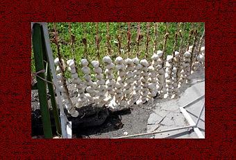 Quando si pianta l 39 aglio paperblog for Aglio pianta