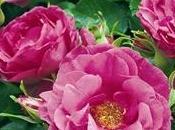 Siepe rose