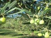 """Salento: contro xylella arrivo pioggia pesticidi. rischio salute ambiente"""""""