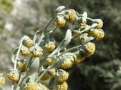 Artemisia L'erba controversa