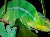 Come fanno camaleonti cambiare colore?