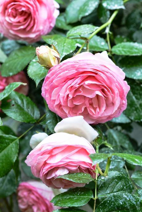 Giardinaggio piante e fiori profumati paperblog for Giardinaggio e fiori