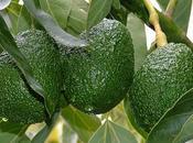 Avocado: proprietà rimedi naturali