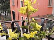 Mimosa fiore