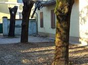 alberelli piantati Piazza Grandi, alberi secolari segati Mille