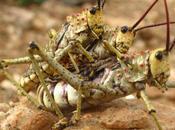 cavallette fritte altri insetti