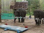 elefanti sono astuti sanno cooperare