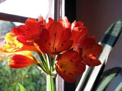 Piante da appartamento la bellezza della clivia miniata - Piante fiorite da appartamento ...