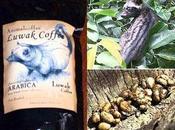 segreto caffè Kopi Luwak: escrementi
