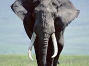 Pulce l'Elefante