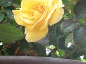 prima rosa bella!