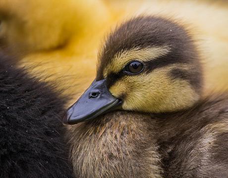 Duckling by parasomnist, on Flickr