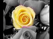 rosa tulipano.