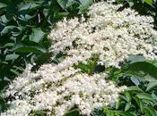 Sciroppo fiori sambuco