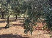 Taviano,ulivi rigogliosi sani curati Melissano Matino. Osservazioni Giugno 2015.