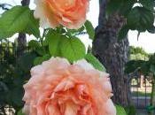 Rosae, rosarum, rosis, rosae…..ecco roseto Roma