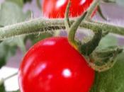 l'inizio dell'estate 2015 ecco primi pomodori maturati orterrazzo