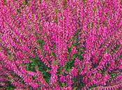 Calluna vulgaris Heather, fiore Bach egocentrici ipocondriaci
