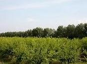 Coltivare Melograno Salento leccese reddito fino 25mila Euro ettaro