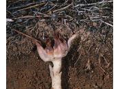 cloroplasti l'evoluzione convergente delle piante parassite