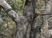 Cinque testimoni silenziosi: alberi secolari catanese...