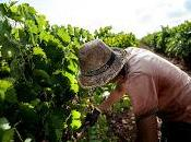 Sicilia vendemmia grande d'Europa Menfi giorni vigneti, mare cucina contadina