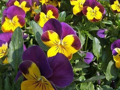 Viole paperblog for Viola cornuta inverno