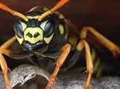 Api, vespe, calabroni. Come difendersi dalle loro punture