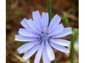 Chicory L'Amore incondizionato.