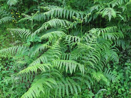 Antiparassitari naturali la felce aquilina attiva contro - La felce pianta ...