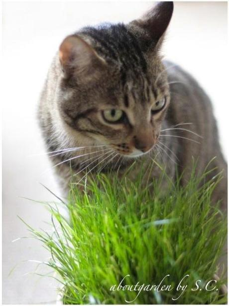 Erba gatta paperblog for Erba per gatti