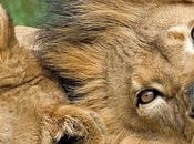 leonessa piange leone