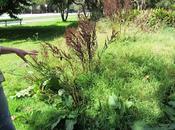 Raccogliere erbe selvatiche Golden Gate Park/1