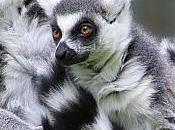 Madagascar: L'Italia salva lemuri 1.600 ettari Foresta Pluviale