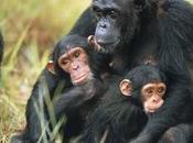 Regione Grandi Laghi/Urge salvare gorilla montagna