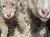 Scherzi della natura: pecora partorito cane
