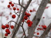 Rosso delle bacche bianco della neve Houzz)