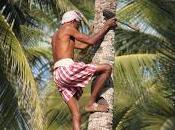 """''uomini scimmia"""" delle palme cocco, mestiere estinzione"""