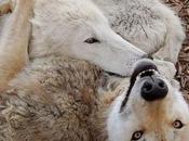 lupi sono minaccia