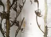 Cirsium arvense sketch