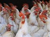 Stampa-Repubblica, polo polli