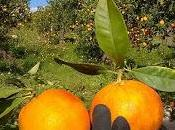 Agricoltura sostenibile delle Arance Siciliane Naturalmente Contadini