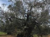 collega Giovanni Melcarne fornisce questa foto dell'olivo 1500 anni Alliste Salento leccese