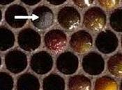 sigillano polline contaminato