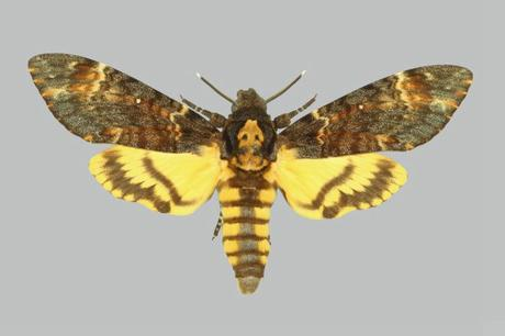 Acherontia_atropos_BMNHE274138_male_up