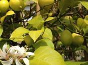 Lemon Blosson Sicily (5°Edizione limitata)