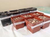 Seminare cultivars ibridi astrophytum