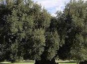 Corso potatura dell'olivo assaggio dell'olio.